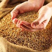 Пшеница твердая (твердых сортов)