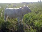 Продам племенных бычков Аулиекольской породы