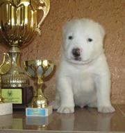 Шикарный щенок,  белоснежный алабай!