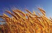 Продам пшеницу,  зерноотходы, ячмень,  овёс. По всей территории РК и РФ