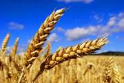 Помощь в реализации пшеницы
