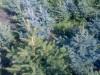 Продам голубые ели от 20см